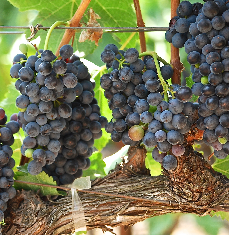 vinyeard